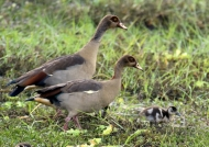 Egyptian Geese with chick