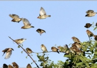 Flock of Red-billed Queleas