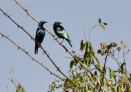 Greater Blue-eared Starlings