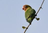 Lilian's Lovebird…