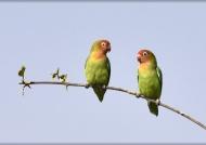 Lilian's Lovebirds