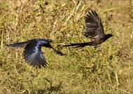 Meves's Starlings