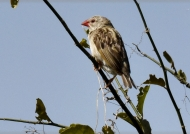 Red-billed Quelea – female