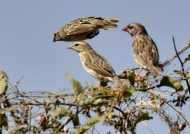 Red-billed Queleas  – m. & f.