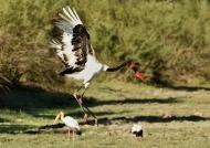 Saddle-billed Stork – female