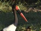 Waders – 2 (Storks)