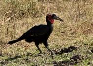 Southern Ground Hornbill – m.