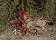takes away the Puku carcass