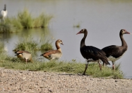 spur-winged-egyptian geese