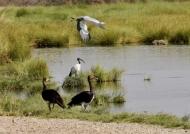 Wg geese-Sac. ibis-Grey heron