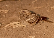Square-tailed Nightjar