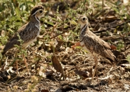 Three-banded Coursers – cple