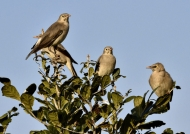 Wattled Starling-non br m & f
