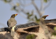 yellow & red-billed oxpeckers
