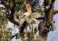 Yellow-billed Stork & juv.