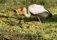 Yellow b. Stork with Catfish