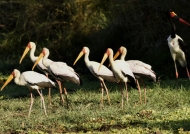 Yellow & Saddle-billed Storks