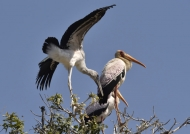 Yellow-billed Storks with juv.