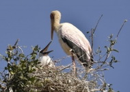Yellow-billed Stork & chick.