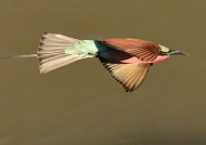 Southern Carmine Bee-eater…