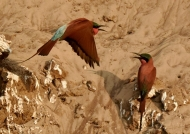 Squabbling bee-eaters…