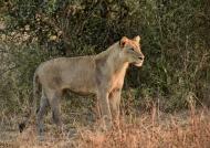 Lioness at sunrise