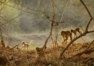 Yellow baboons at sunrise