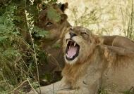 Hidden & expressive Lions