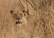Lion f. hidden in the dry grass