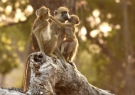 Loving Yellow baboons family