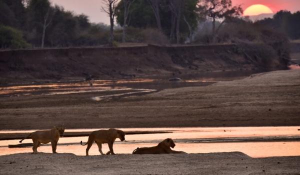 Romantic male Lions