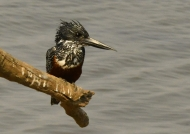 Giant Kingfisher – female