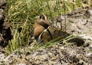 Greater Painted-snipe – female