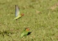 Lilian's Lovebirds feed…