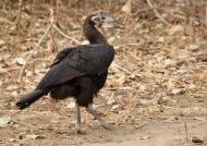 southern ground hornbill – juv