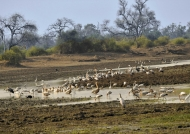 White Pelican meeting