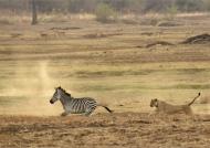 Happy end, Zebras escaped!