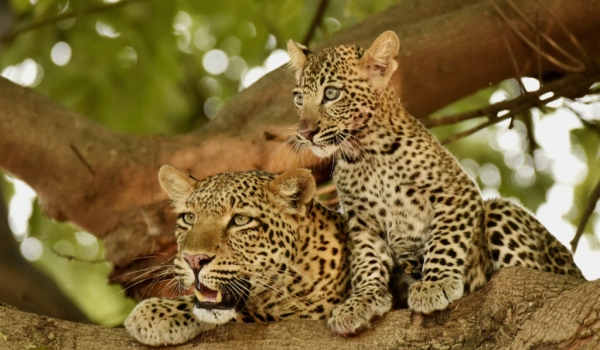 Mom Leopard with her cub…