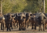 Buffaloes returning…