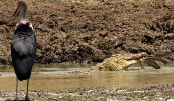 croc. eating an open-billed stk