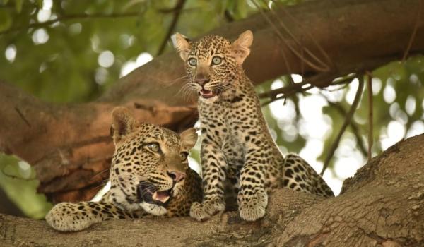 Zambia Nsefu – Female Leopards cub and adult