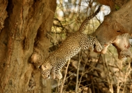 Female Leopard cub jumping