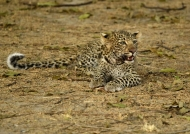 Female Leopard cub