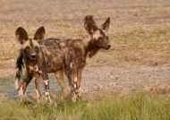 Wild Dogs with 2 heads!