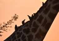 Sunset Oxpecker drink
