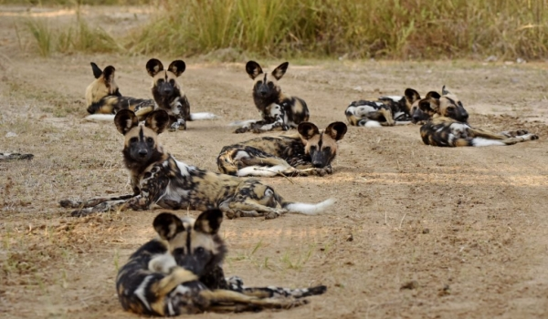 Wild Dog pack of 15
