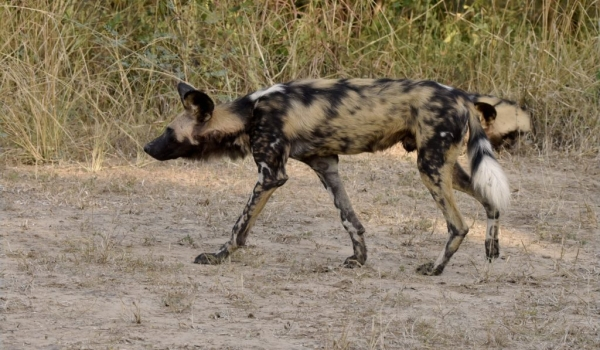 Painted Dog joining the pack
