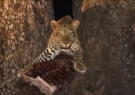 Mom Leopard is worried…