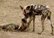 Wild Dogs – social behavior
