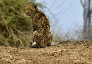 Leopard f. looking for a prey…